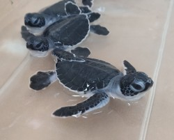 First turtle hatchlings for the season at Cayman Turtle Centre